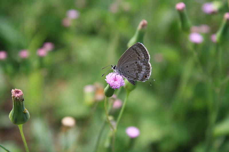 蝴蝶花丛里简笔画