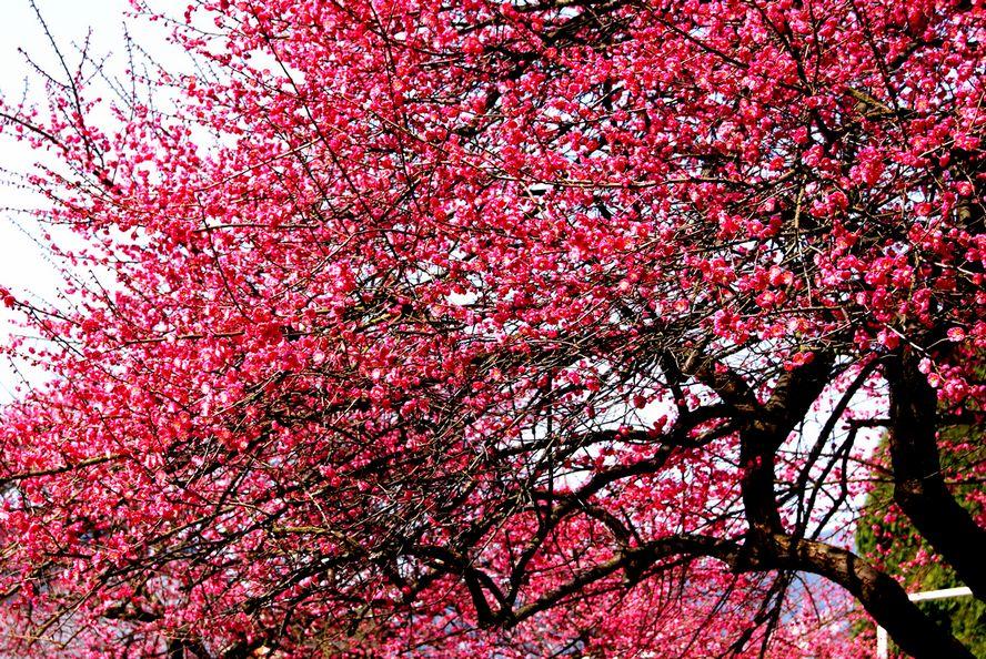 红梅花儿开