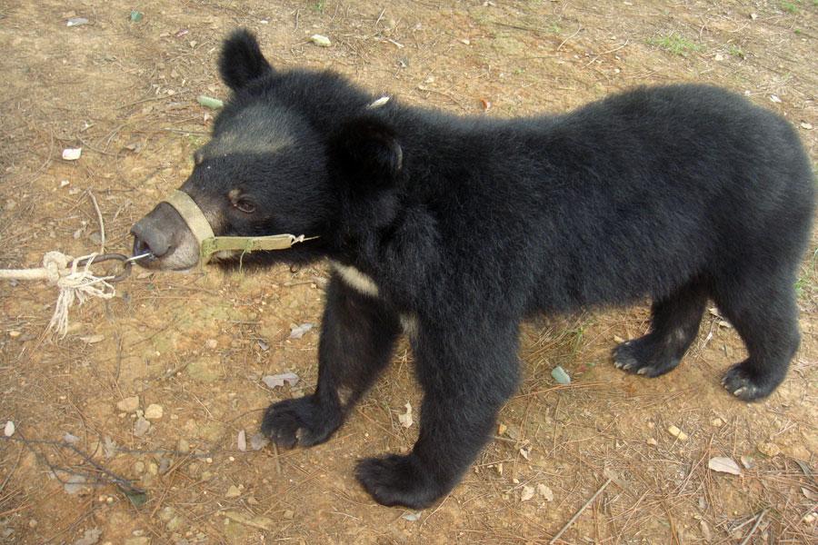 武汉九峰野生动物园,被当作表演工具的小熊.