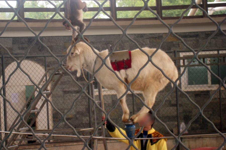 天津动物园,被关在另一间铁笼的黑猩猩,正在铁笼边啃吃游人随意投喂