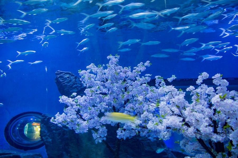 武汉海昌极地海洋公园樱花海引来美人鱼和海洋精灵共舞