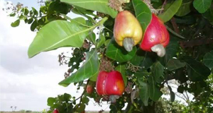 【新闻课199】 你见过腰果、可可的植物吗?
